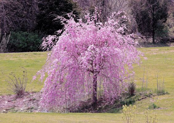 Dwarf weeping cherry front yard landscaping walkway for Cherry trees for sale