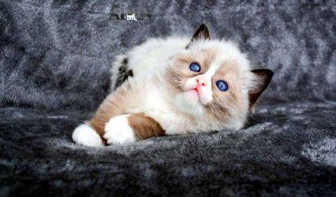قطط للبيع في عجمان قطط راغدول للبيع Ragdoll Kitten العمر 40 يوم راغدول كيتن بيور للبيع مدربه على ليتر بوكس بصحه ممتازه ومستوى واضح ماشالله Cats Animals
