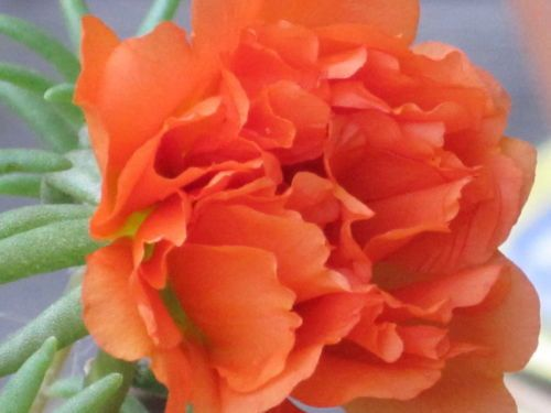 Portulaca Moss Rose~Orange ~ 200 seeds Great in Container, Easily Grown