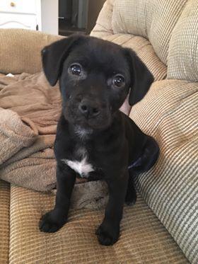 Adopt Sulu On Labrador Retriever Mix Dogs Pets