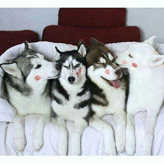 Husky Kisss #SiberianHusky