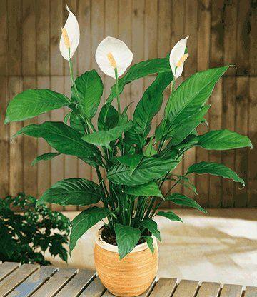 Lepelplant (Spathiphyllum) mooi in houten pot