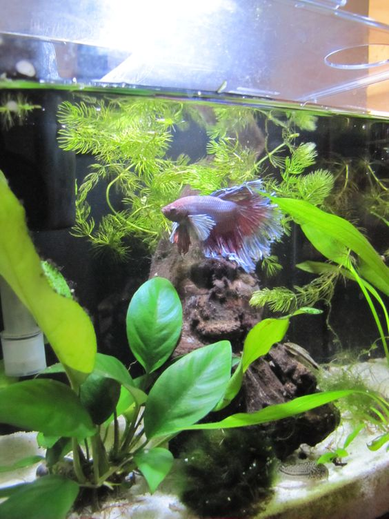Bettas love planted tanks this is an aqueon evolve 4 for Betta fish plant