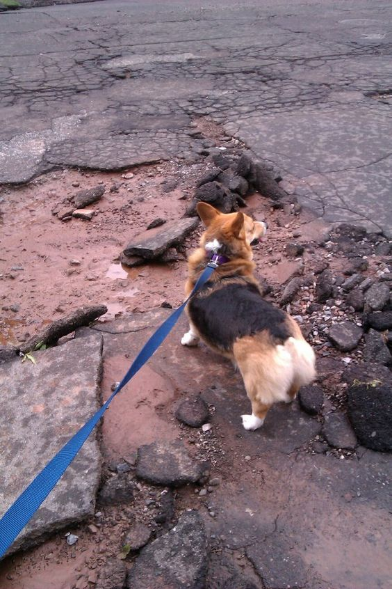I'd like to think this corgi is an apocalypse survivor.