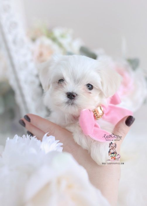 Maltese Puppy For Sale Teacup Puppies 352 Teacup Puppies Maltese Maltese Dogs