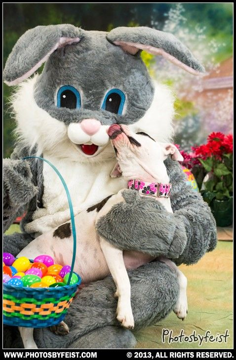 A pit bull dog kisses the Easter Bunny (catching the softer side of pit bulls) Love this photo? Re-pin it!