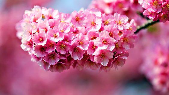 Hoa đào trị nám làm trắng da với các vị thuốc sau