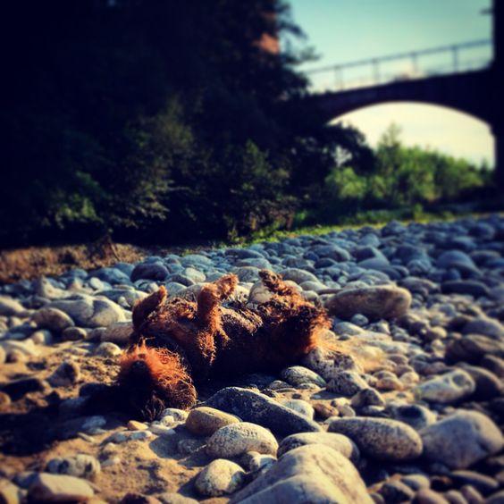 Bassotto pelo ruvido fiume