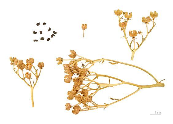 Frutos y semillas