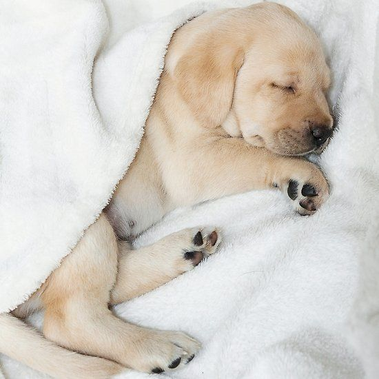 Sleeping Golden Labrador Puppy In 2020 With Images Golden Labrador Puppies Sleeping Puppies Lab Puppies