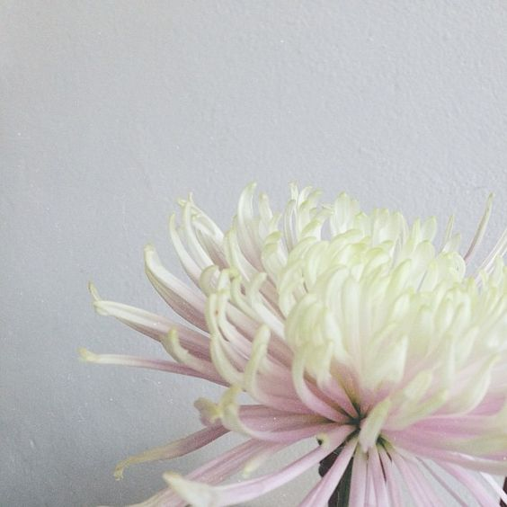 Chrysanthemum • satyalila.tumblr.com