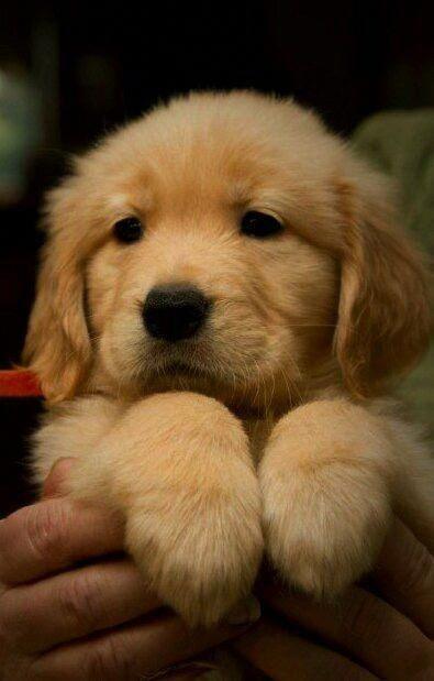 Golden Retriever Puppy Puppies Dog Waiting Golden Retriever