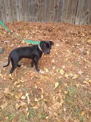 Jasmine - Pit Bull Terrier