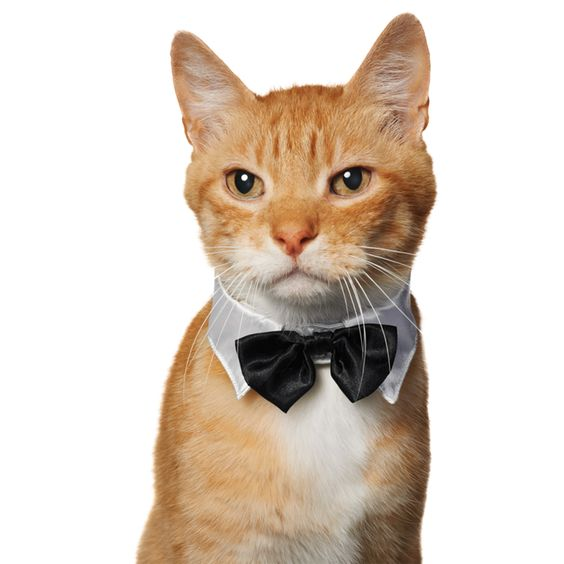 Image Result For Petco Cat Halloween Costumes Great Petco Collar And Bowtie Halloween Costume For Cats