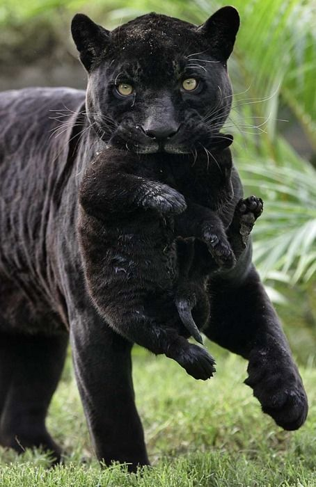 Black panther and cub.