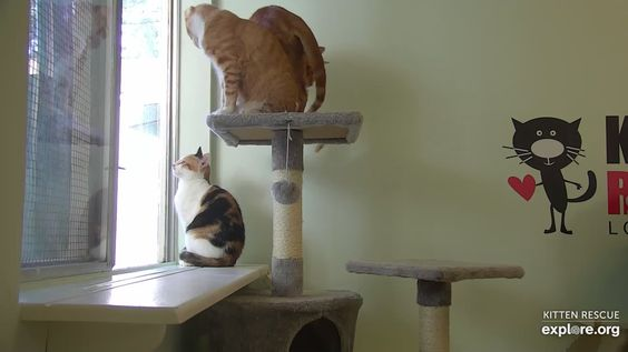 Three Cats By The Window At The Kitten Rescue Sanctuary Los Angeles Ca Usa In 2020 Kitten Rescue Kittens Three Cats