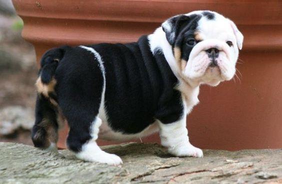 Cute Purebred English Bulldog