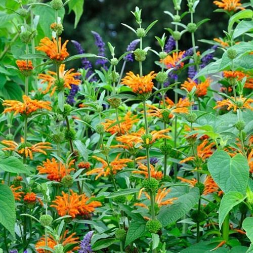 LEONOTIS LEONURUS orange lion s ear