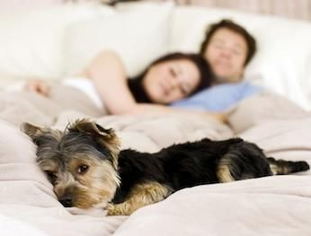 Many people love to snooze and snuggle with their cats or dogs at night, but parasites such as tapeworms, ringworm and hookworm, as well as diseases borne by fleas and ticks, can all be transmitted from pets to people. The popular notion that dogs and cats are actually cleaner than humans is a myth. The CDC says that 75 percent of all emerging infectious diseases affecting humans originate with animals, and sleeping with a pet may increase that risk. #pets #safety #tips