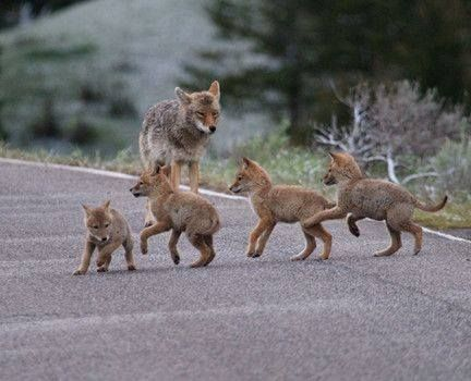 PetsLady's Pick: Cute Wolf Cub Scouts Of The Day