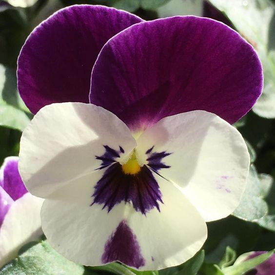 I love a #pretty #viola #whiteflowers #purpleflowers #purple #lobotany #urbangarden #urbangardenersrepublic #gardensofengland #gr8flowers #primavera #spring #instagardeners #instablooms #flowerstagram #instaflower #nature #floweroftheday #blumen #fleur #flori #gardening #englishgarden #mygarden #greenthumb