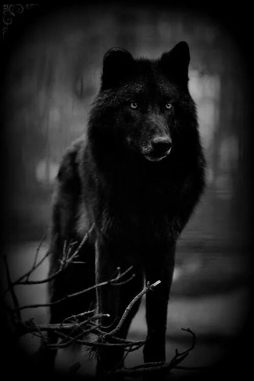 Epingle Par Sinful Muse Sur Wolf Images Loup Loup Noir Loup Fantasy