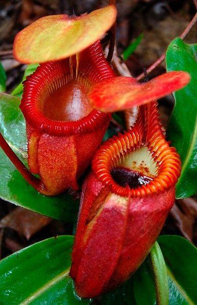 Nepentes, planta carnívora