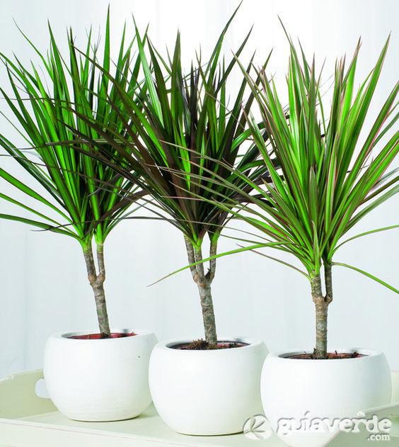 dracaena marginata planta de interior plantas ornamentales ornamental plants pinterest. Black Bedroom Furniture Sets. Home Design Ideas
