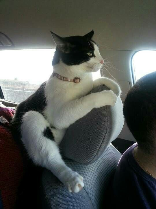 Who says cats don't like riding in cars? tuxedo cat. gatto alla guida
