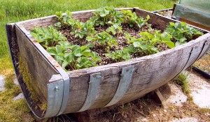 Harvest to Table's guide for container growing.  Within the article are suggestions, tips & tricks - AND - a list of veggies, how to plant, how deep the container needs to be, etc.  Love the repurposing of the barrel.