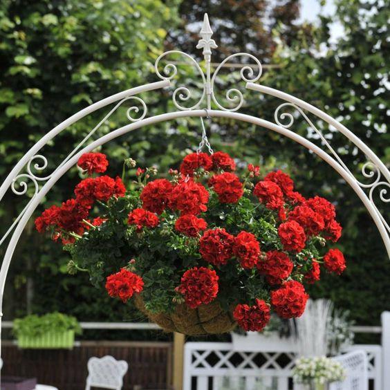 geranien pflanzen geranien pflege h nge geranien blumen. Black Bedroom Furniture Sets. Home Design Ideas