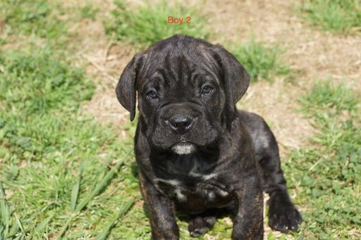 Litter Of 6 Cane Corso Puppies For Sale In Fort Mitchell Al Adn 69738 On Puppyfinder Com Gender Male Age 6 Weeks Old Cane Corso Puppies Cane Corso Puppies