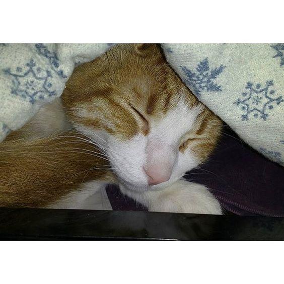 Olivio de #invierno  (aunque aun sea #otoño) Eres afortunado, enano! Tantos pasando frío, mojándose en días así :c... Y no hablo solo de gato, tb de perritos, otros animales y tb animales humanos :c ⛄☔ #softkitty #warmkitty #sleepykitty #cat #cats #catsofinstagram #catstagram #catsofig #catlover #coldday #rainyday #gato #gatos #prrr #purr #purrfect #nose #pinknose #cutecat