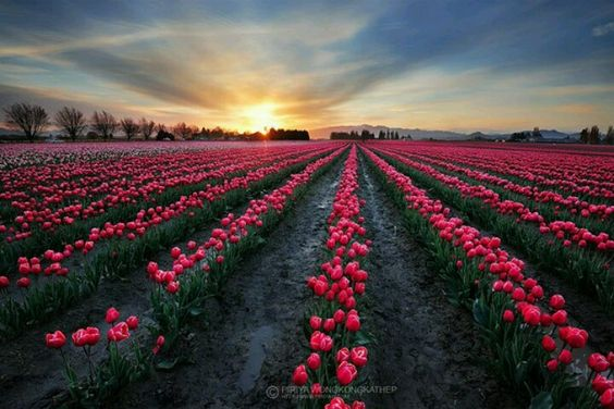Rows and rows of tulips xx