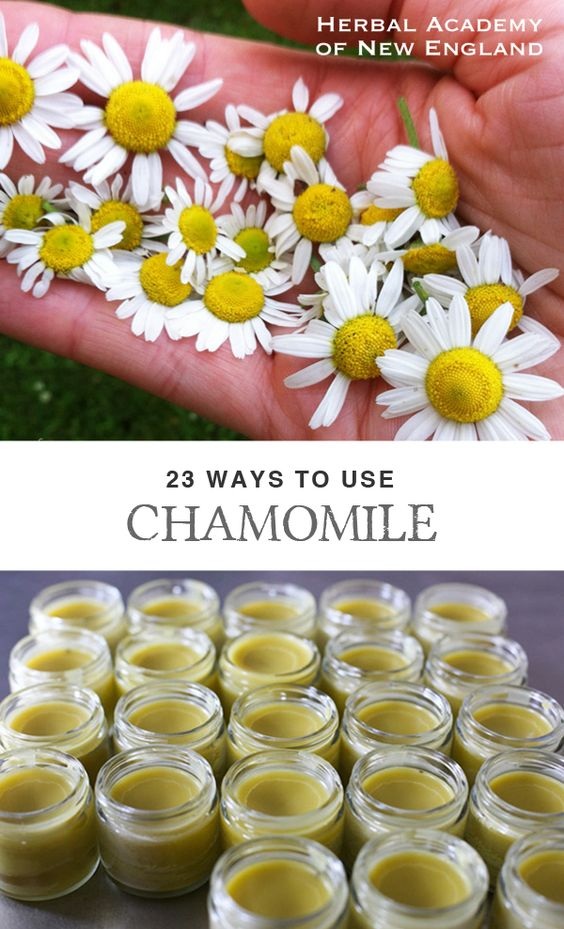 Chamomile is one of the most recognized and used herbs in the western world. From tea and tinctures to salves and soap, chamomile's versatility and aroma have long-been welcomed into our lives. Check out the link for 23 ways to use chamomile in many different applications – not just tea! Herbal Academy of New England