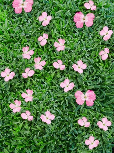 11 of the best ground cover perennials pink flowers the for Perennial ground cover with pink flowers