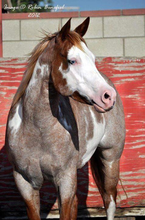 White Quarter Horse With Blue Eyes - photo#41