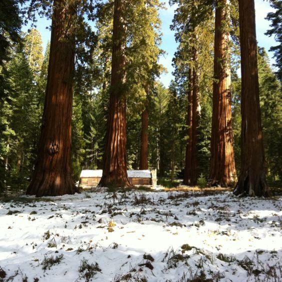 Yosemitie Mariposa Groove - Sequoias.