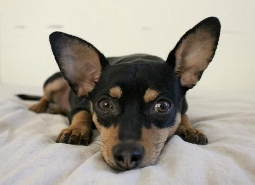 This adorable little Min Pin is Savannah. She needs a new home. Won't you help her?    http://bit.ly/HAcqCC