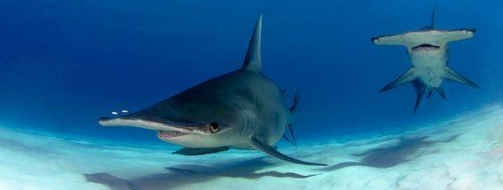 Expédition H2O aux Bahamas - Requin Tigre et Grand Requin Marteau