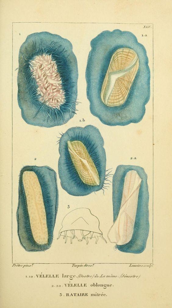 plates - Manuel d'actinologie ou de zoophytologie / - Biodiversity Heritage Library