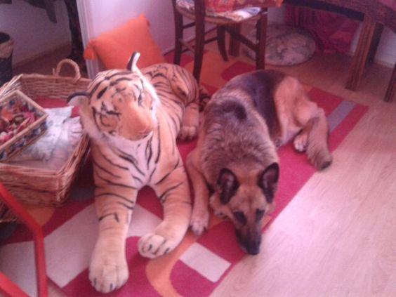 Chien plus tigre