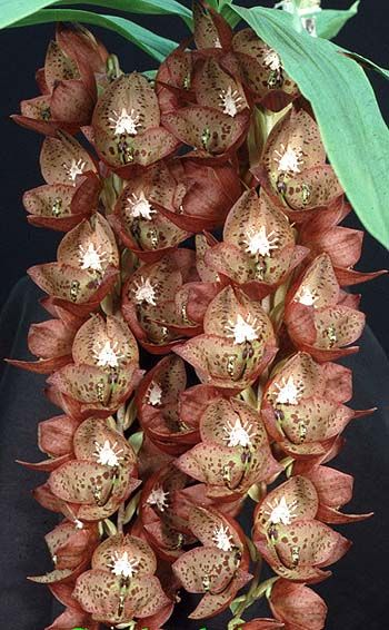 Sunset Valley Orchids - Cyc. barthiorum