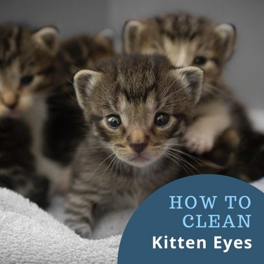 How To Clean Kitten Eyes That Are Matted Shut Kitten Eyes Kittens Kitten Care