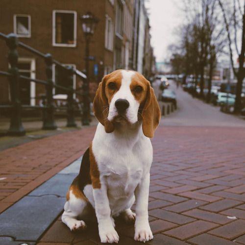 Why Beagles Make Great Pets Cats Dogs Beagle Breeds Beagle