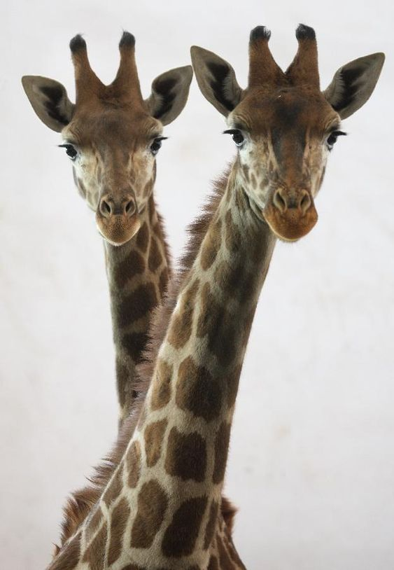 """Twin Giraffes: """"Ping Ping"""" and """"An An"""" in Shijiazhuang, capital of north China's Hebei Province celebrate their first birthday. Photo by Ding Lixin, xinhuanet #Giraffes #Shijiazhuang #China #xinhuanet #Ding_Lixin"""