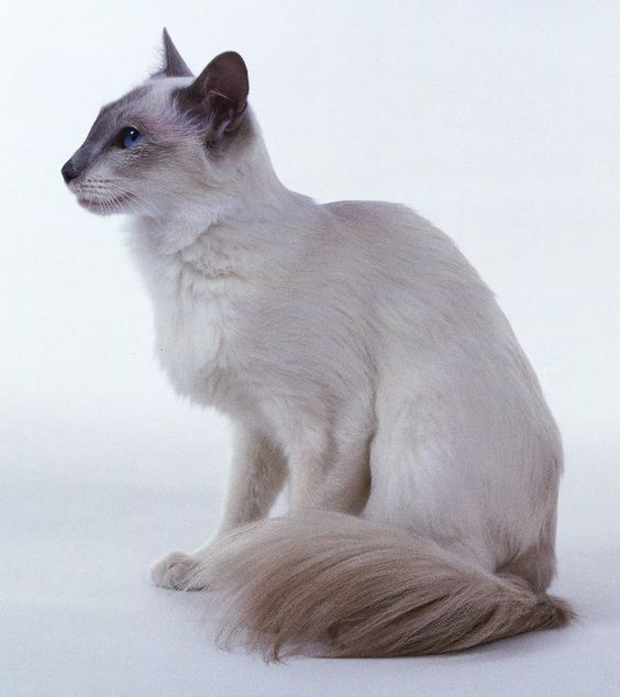 balinese cat | Balinese Cats - Your guide to the Balinese cat breed