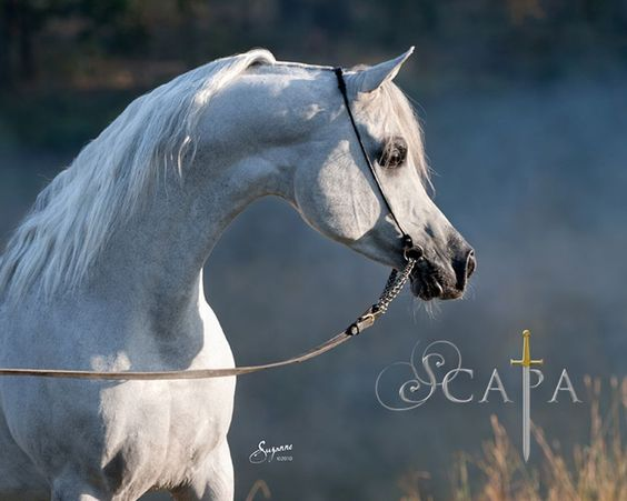 Arabian stallion Scapa: