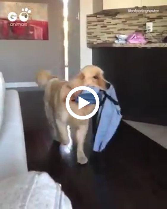 Esse cão está organizando o guarda roupa.