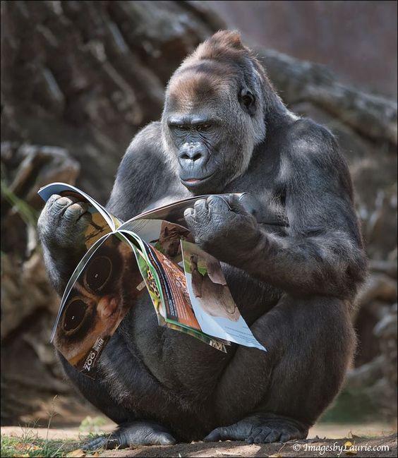 雑誌を読むイケメンゴリラ